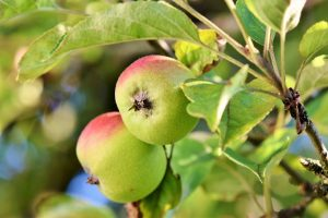 Les feuilles des arbres fruitiers sont-elles comestibles ?