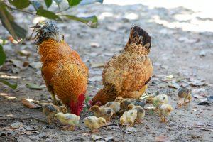 Devenir éleveur de poules pondeuses