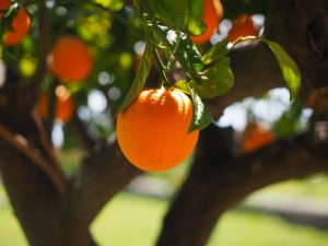 Qu'est-ce qui fait qu'un arbre porte des fruits ?