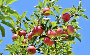 Quel arbre donne des fruits le plus rapidement ?