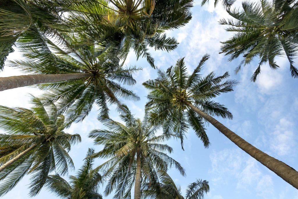 Quel engrais pour palmier ?