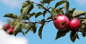 Quel est le plus petit arbre fruitier ?