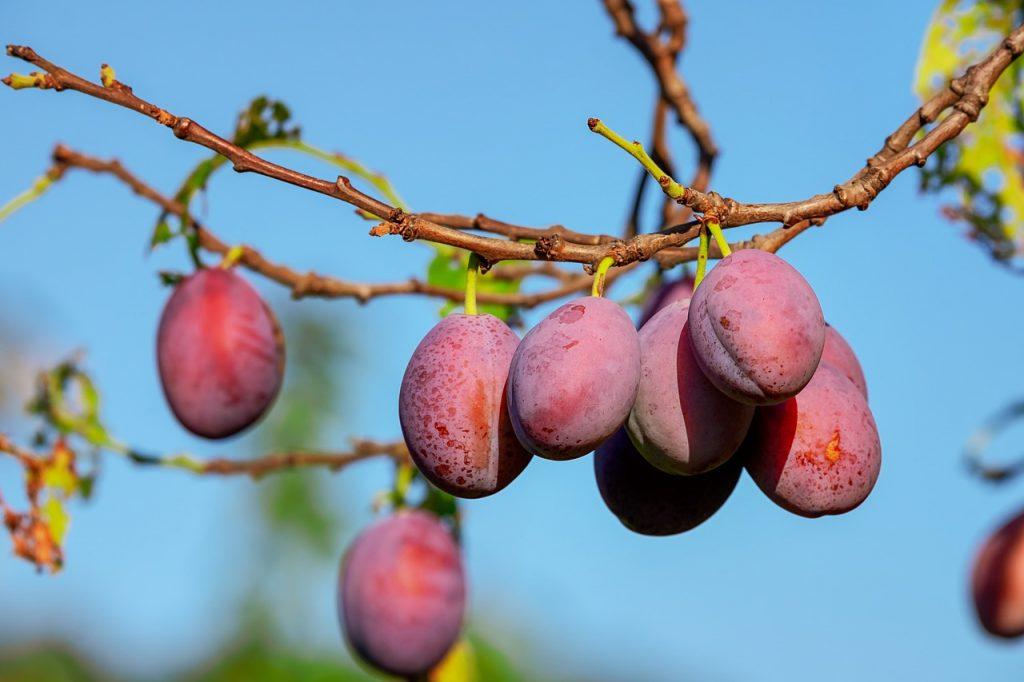 Une noix est-elle un fruit ?