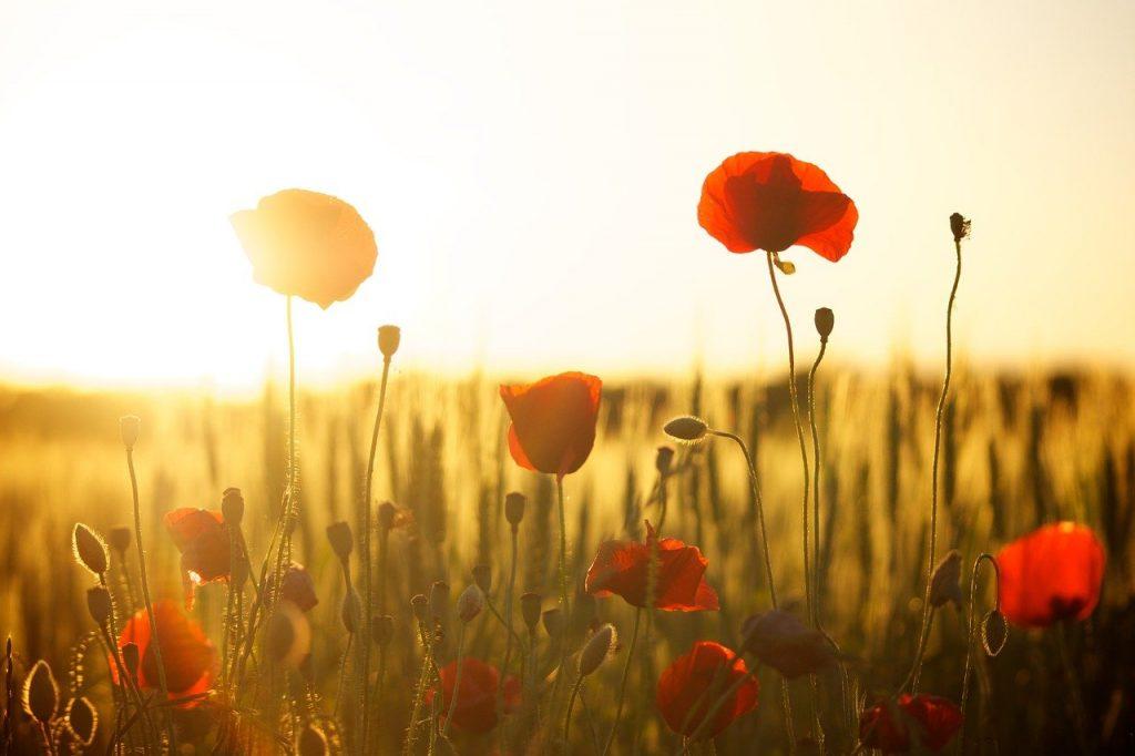 Quelle fleur est connue sous le nom de Fleur de Dieu ?
