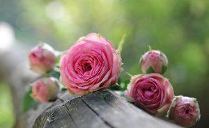 Quelle fleur symbolise la trahison ?