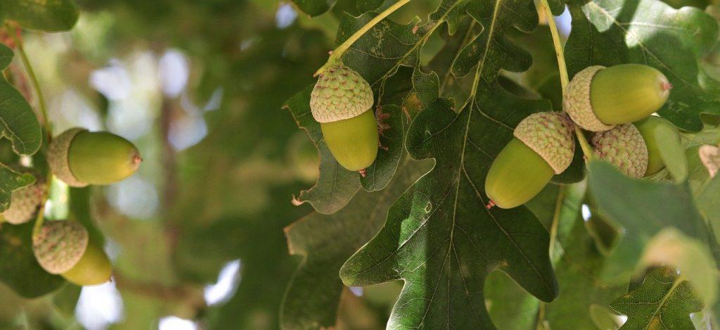 À quelle fréquence un figuier donne des fruits ?