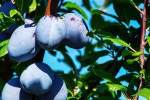 Quelles sont les causes des taches brunes sur les feuilles des arbres fruitiers ?