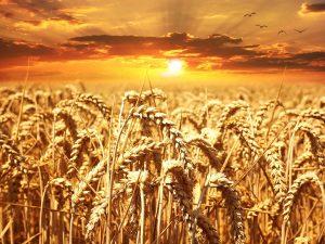 Où est pratiquée l'agriculture itinérante ?